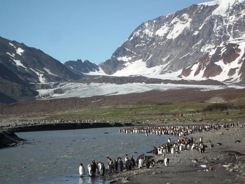 ... mit einer Kolonie von 150.000 Brutpaaren von Königspinguinen ...