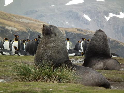 ... Pelzrobben, auch Seebären genannt