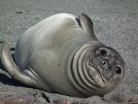 ... und dem ersten Seeelefantenbaby