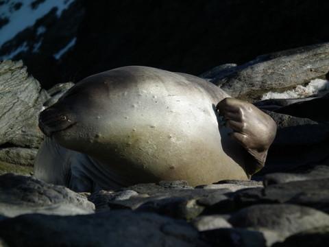 ... begrüßt von einer Weddel Robbe und ...