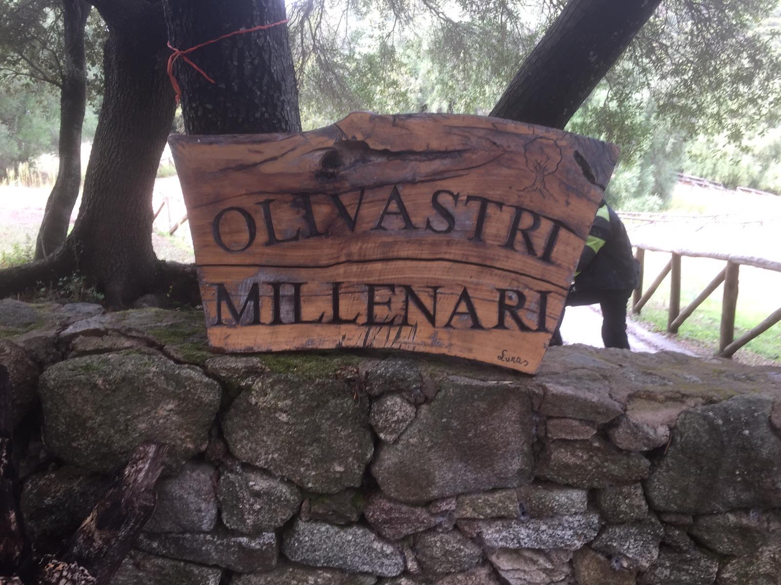 über tausendjährige Olivenbäume ...