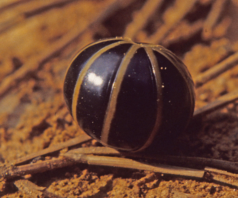 le glomeris, en boule devant un danger