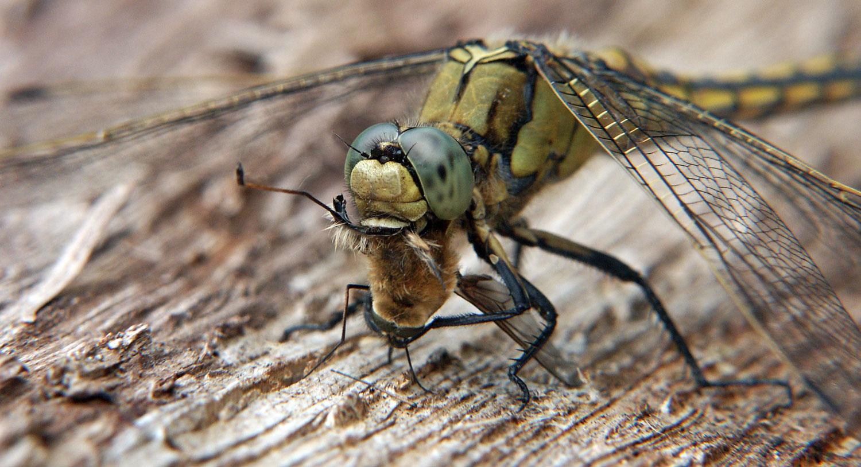 la libellule, carnivore