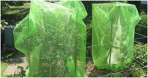 Neuartiges Insektenschutznetz für Beeren im Hausgarten, Schrebergarten