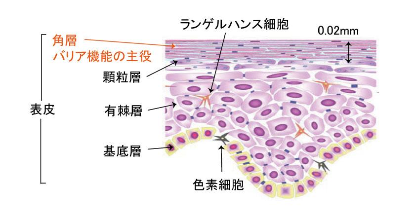 アレルゲンは皮膚から入る