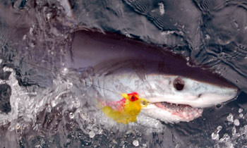 Mako shark caught fly fishing off San Diego