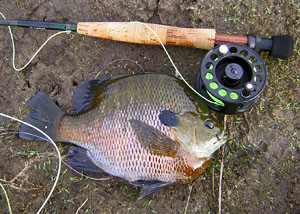 Fly Fishing  bluegill from Otay Lakes San Diego