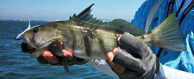 Fly Fishing caught Sand Bass from San Diego bay