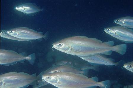 Trisopterus minutus