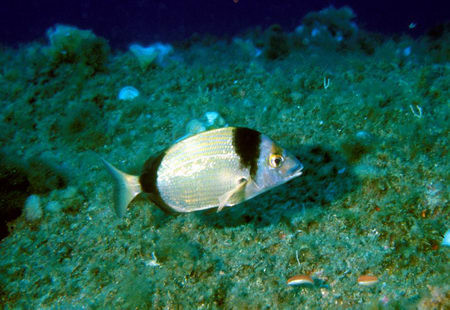 Diplodus spp.
