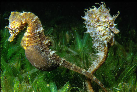 Hippocampus spp.