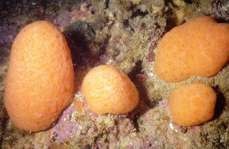 Aplidium conicum