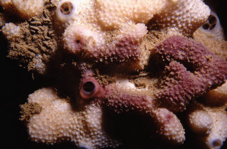 Ircinia spp.