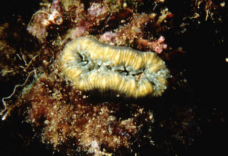 Balanophyllia europaea