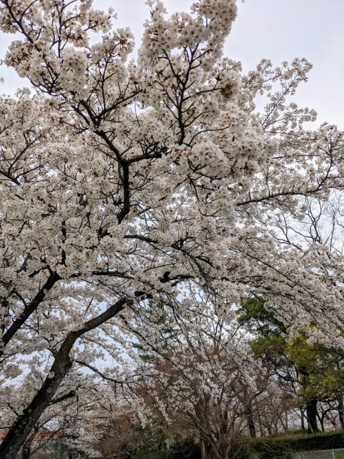 3月28日開花状況。