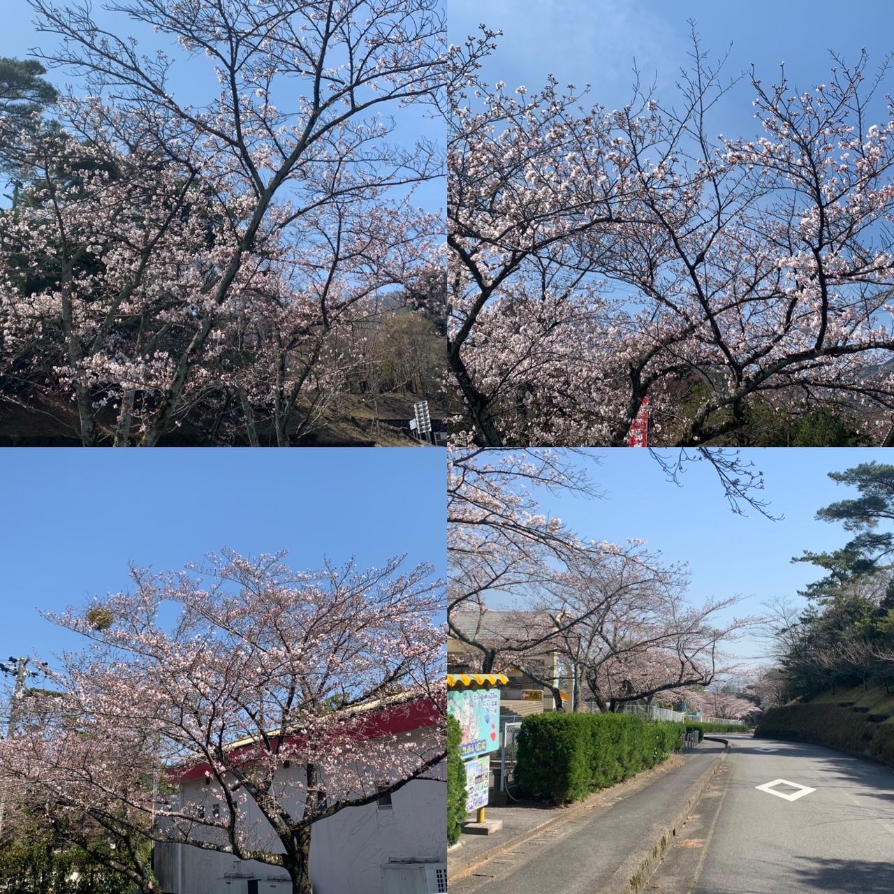 桜開花状況!