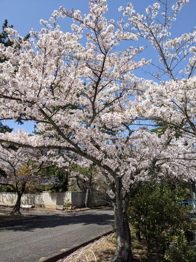 3月31日養老ランド桜状況。