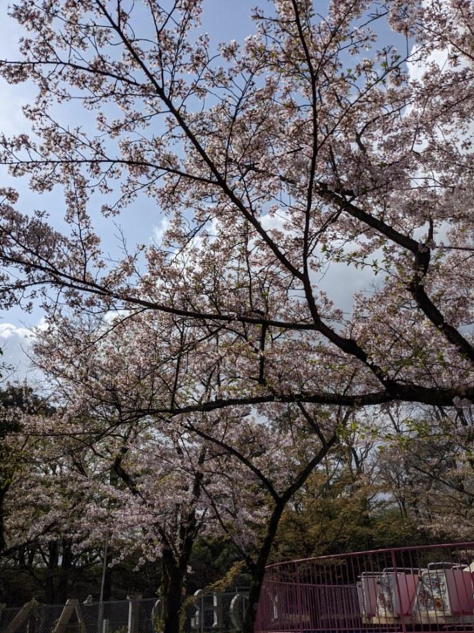 4月2日桜状況。