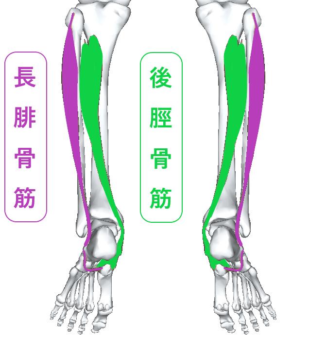 長腓骨筋と後脛骨筋はひざ下 足首両サイド 足裏まで伸びている