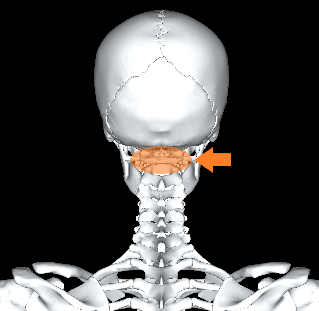 上位頚椎(7つある首の骨のうち上2つ)
