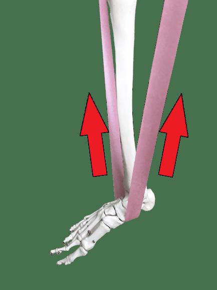 1 両サイドから均等に引っ張られると足首は安定する