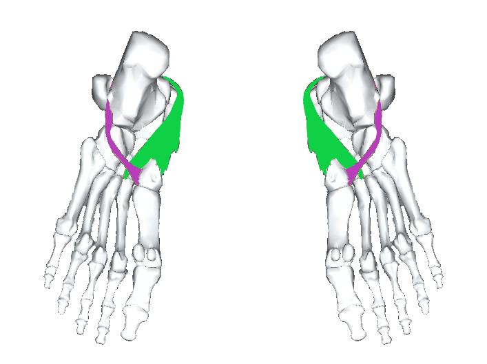 足裏 長腓骨筋と後脛骨筋は足裏中央やや内側に付着