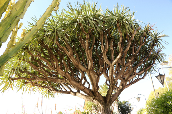 Drachenbaum (Dracaena draco), Funchal / Madeira
