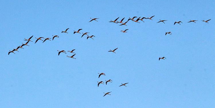 Flamingos über El Jadida.
