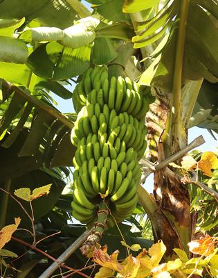 Bananenstaude in Funchal