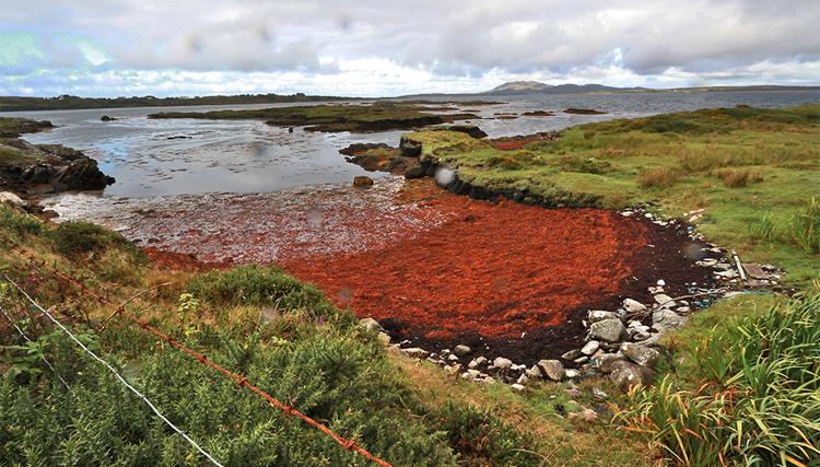 Rotbraune Algen in einer der zahlreichen Meeresbuchten am Wild Atlantic Way.