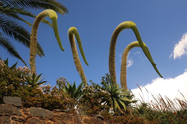 Drachenbaum-Agaven