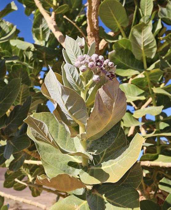 Fettblattbaum mit Blättern, Blütenstand, Knospen und Blüten.