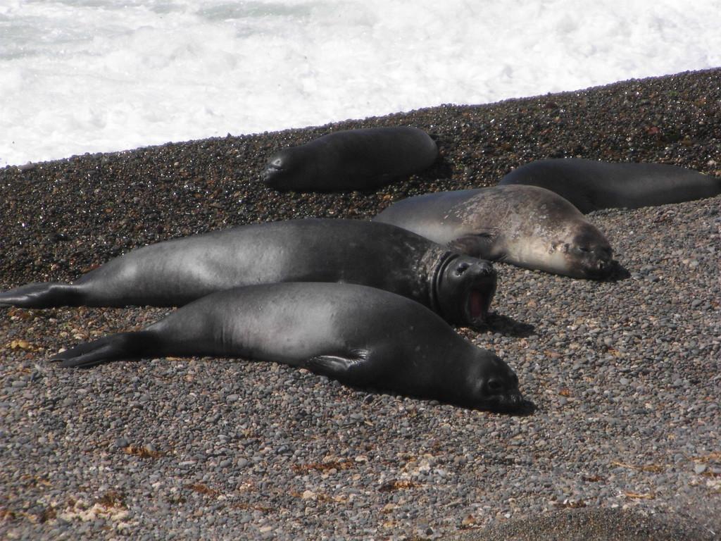 Stop Puerto Madryn - Caleta Valdes _ Seeelefanten