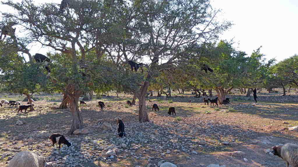 11.Tag - Fahrt von Essaouira nach Agadir - Ziegenbaum Argania