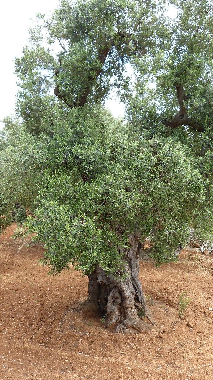 über 1 Million Olivenbäume stehen in Apulien