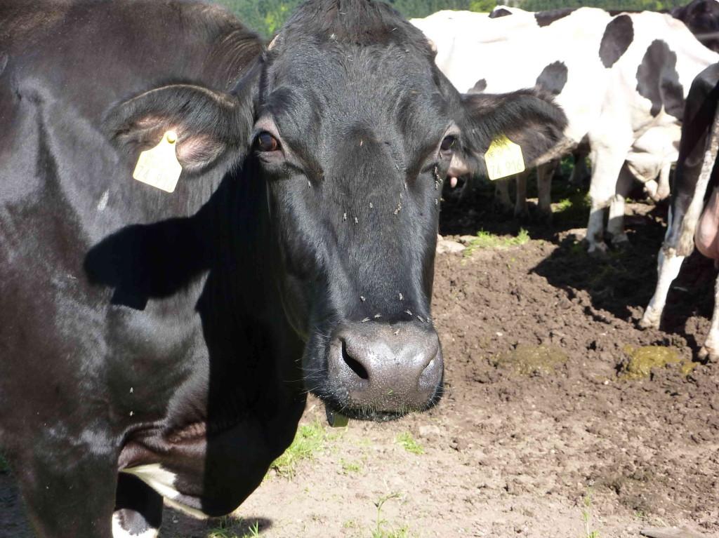 Die Kuh von Horben