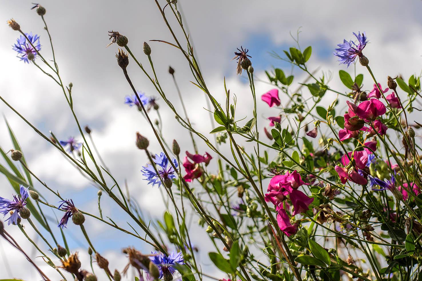 Blumen am Weg, bei Rastenfeld/NÖ, 07-2016