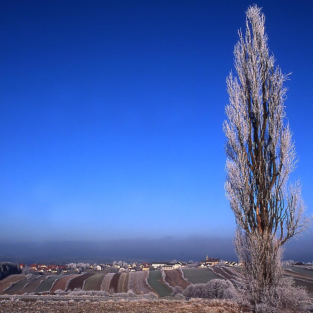 Pappel im Rauhreif, Rastenfeld NÖ, 1999 - dieser Baum fiel Baummördern zum Opfer!