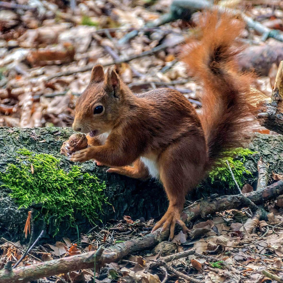 Eichhörnchen, Arbesbach/NÖ