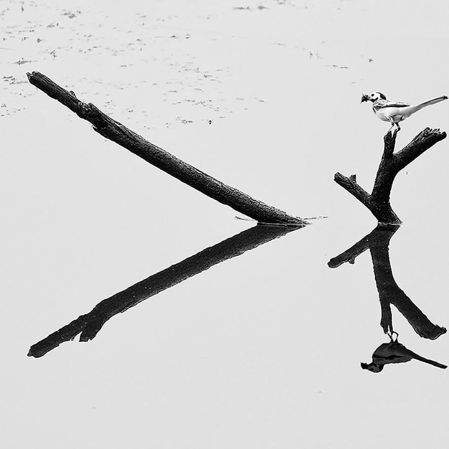 Holz im Teich mit Bachstelze, 2013
