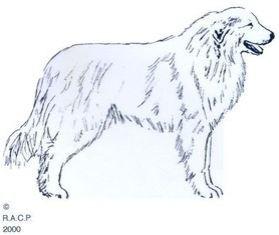 Skizze erstellt vom französischen Pyrenäen-Berghund Verein RACP