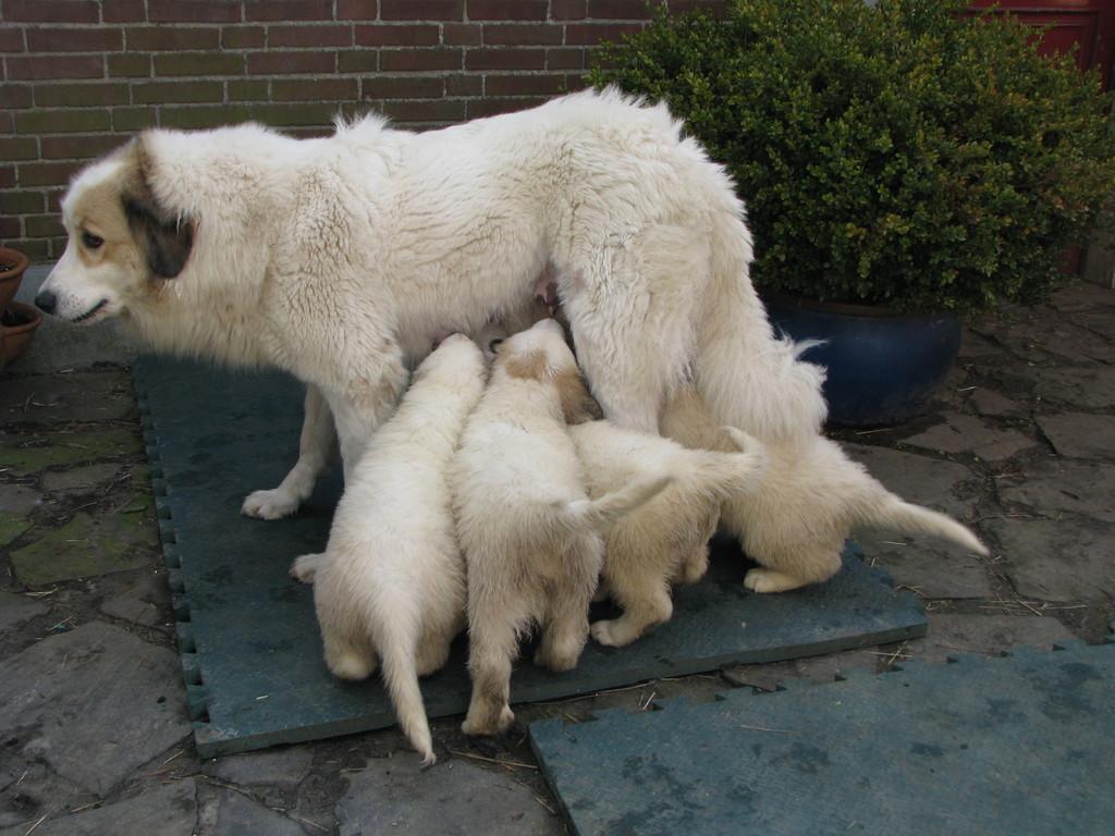 Chouchou säugt ihre 7 1/2 Wochen alten Kinder immer noch. Das ist großartig.