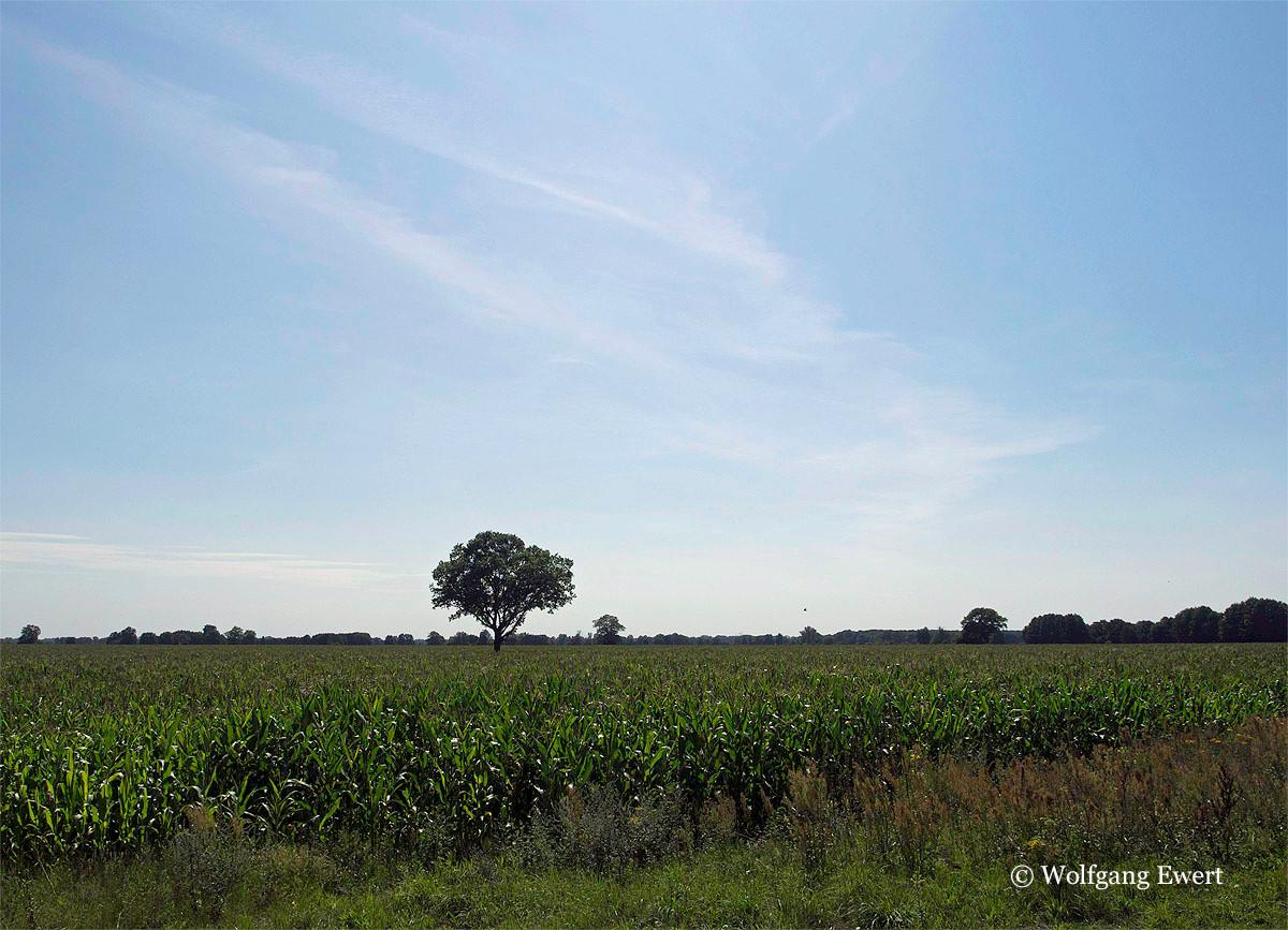 Maisfeld in der Niederung             --                Foto: W. Ewert