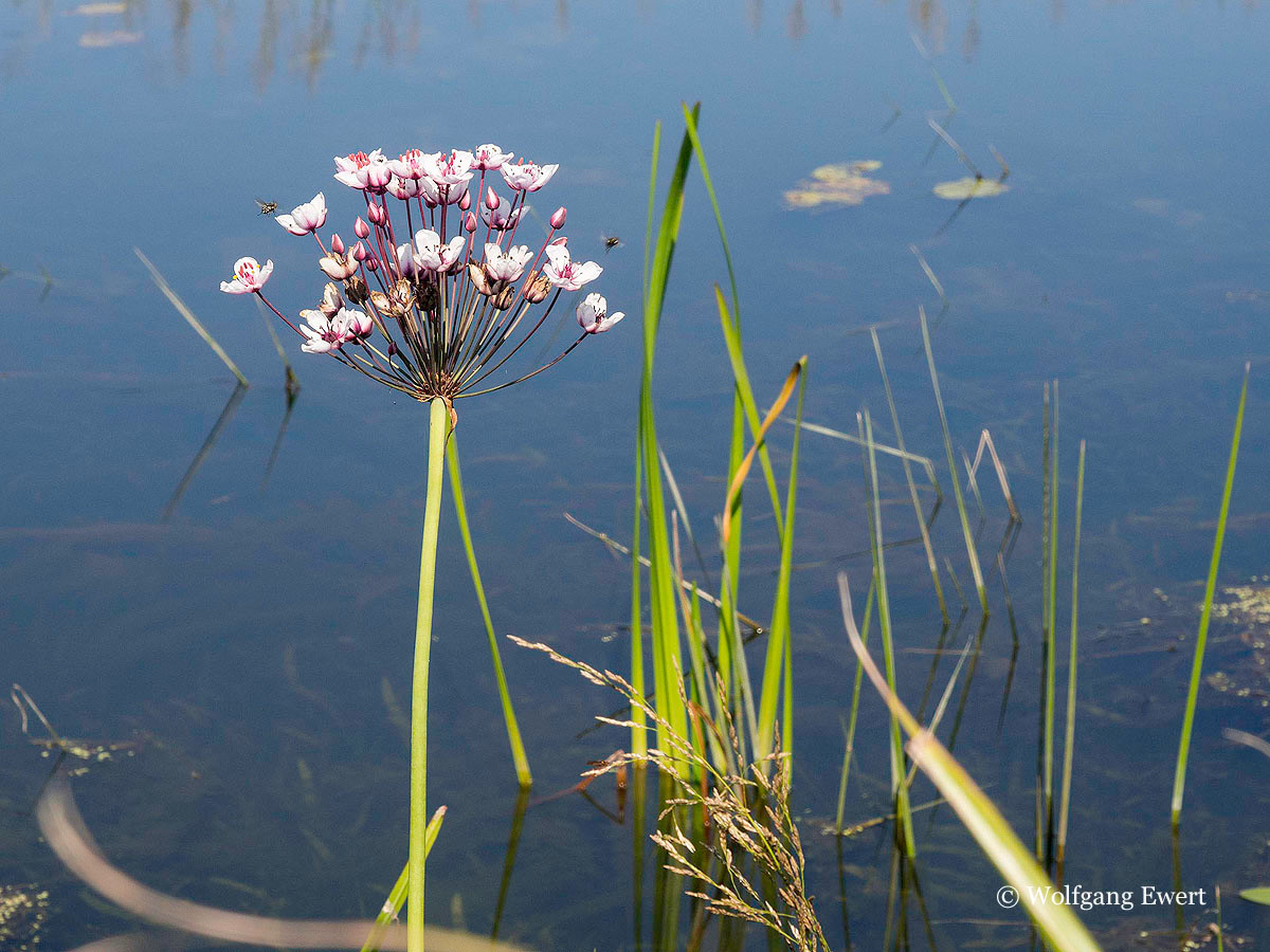 Schwanenblume                        --                      Foto: W. Ewert