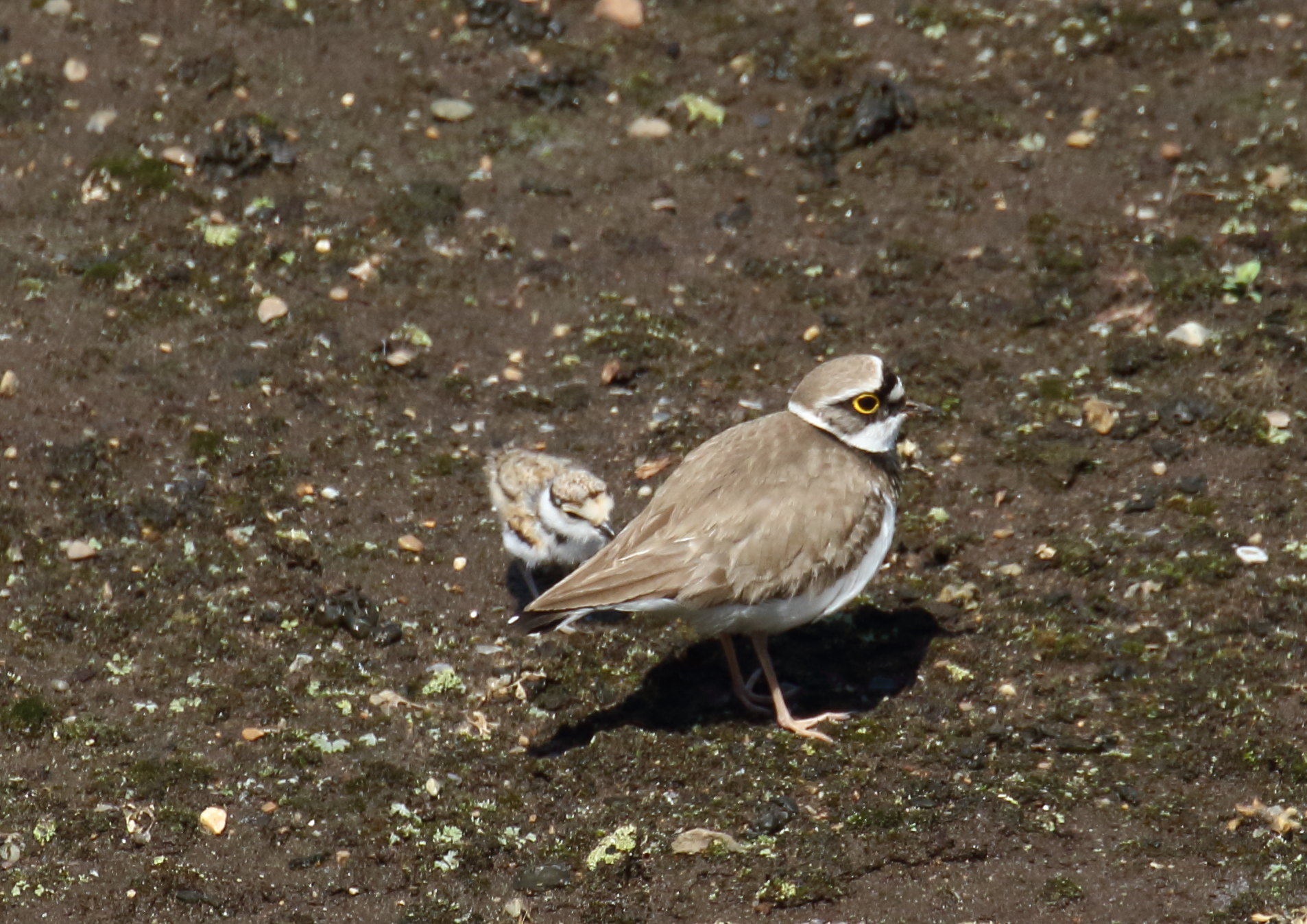 羽毛に潜り込む雛1羽目. コチドリ親子 2021/4/30 柏市郊外 大きな声を発し雛を呼び寄せる親 一羽目戻る。