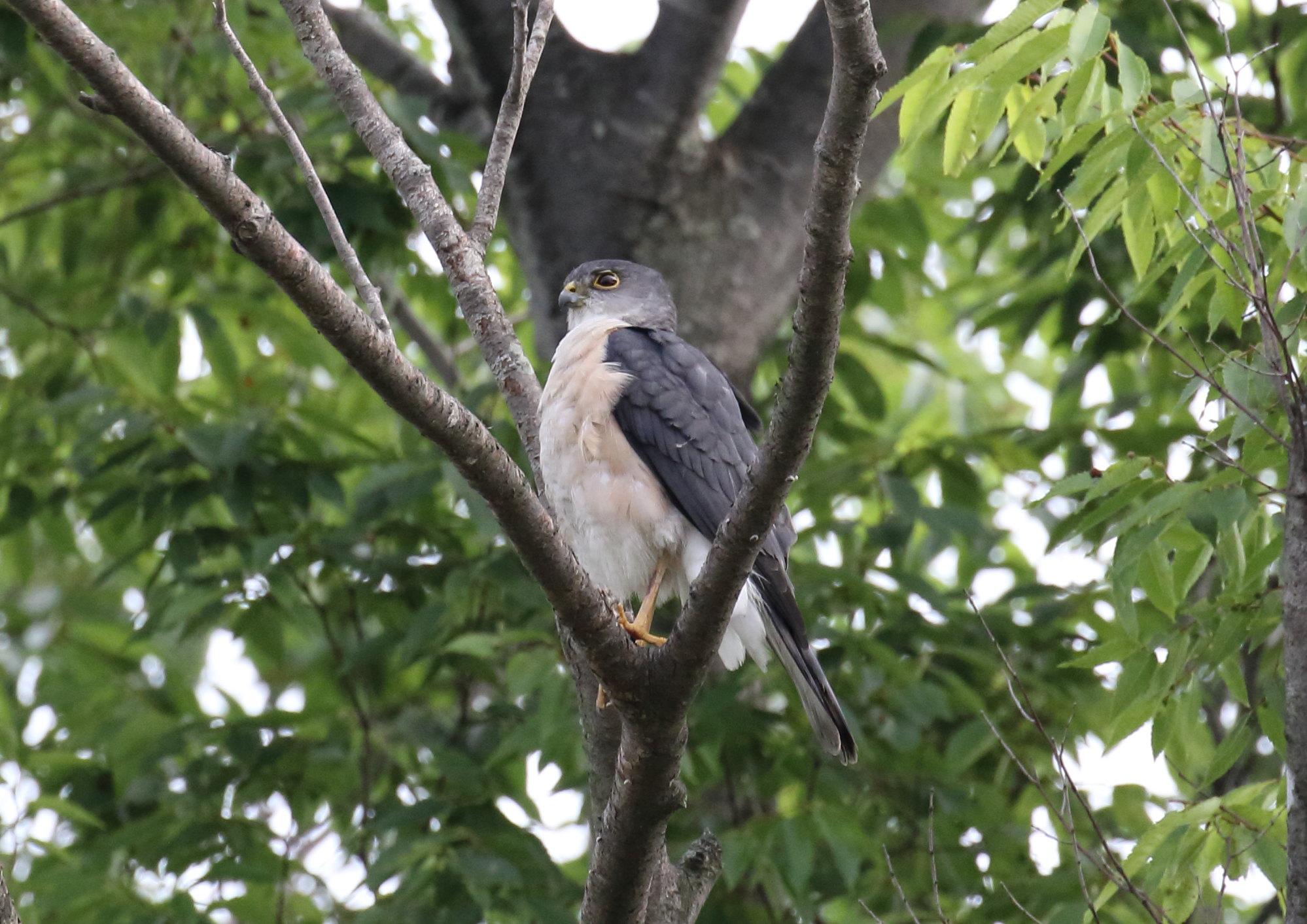 ペアで飛来、睨みを利かすオス ツミ…♂ 2021年5月 柏市近郊 ツミの繫殖期、近郷緑地にペアで飛来 営巣準備