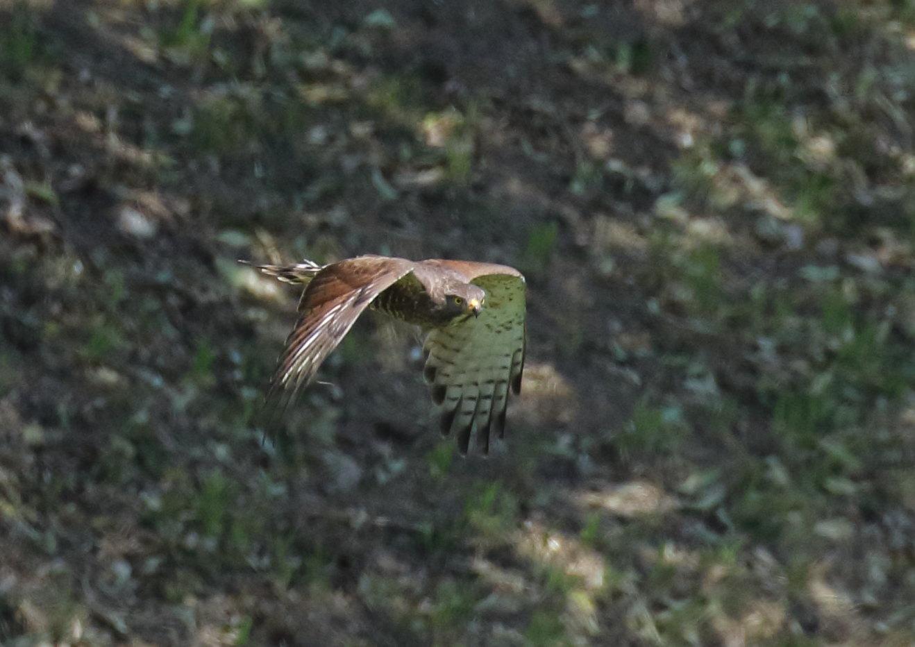 低空飛行獲物を探す  サシバ 2021年/04月 柏市郊外
