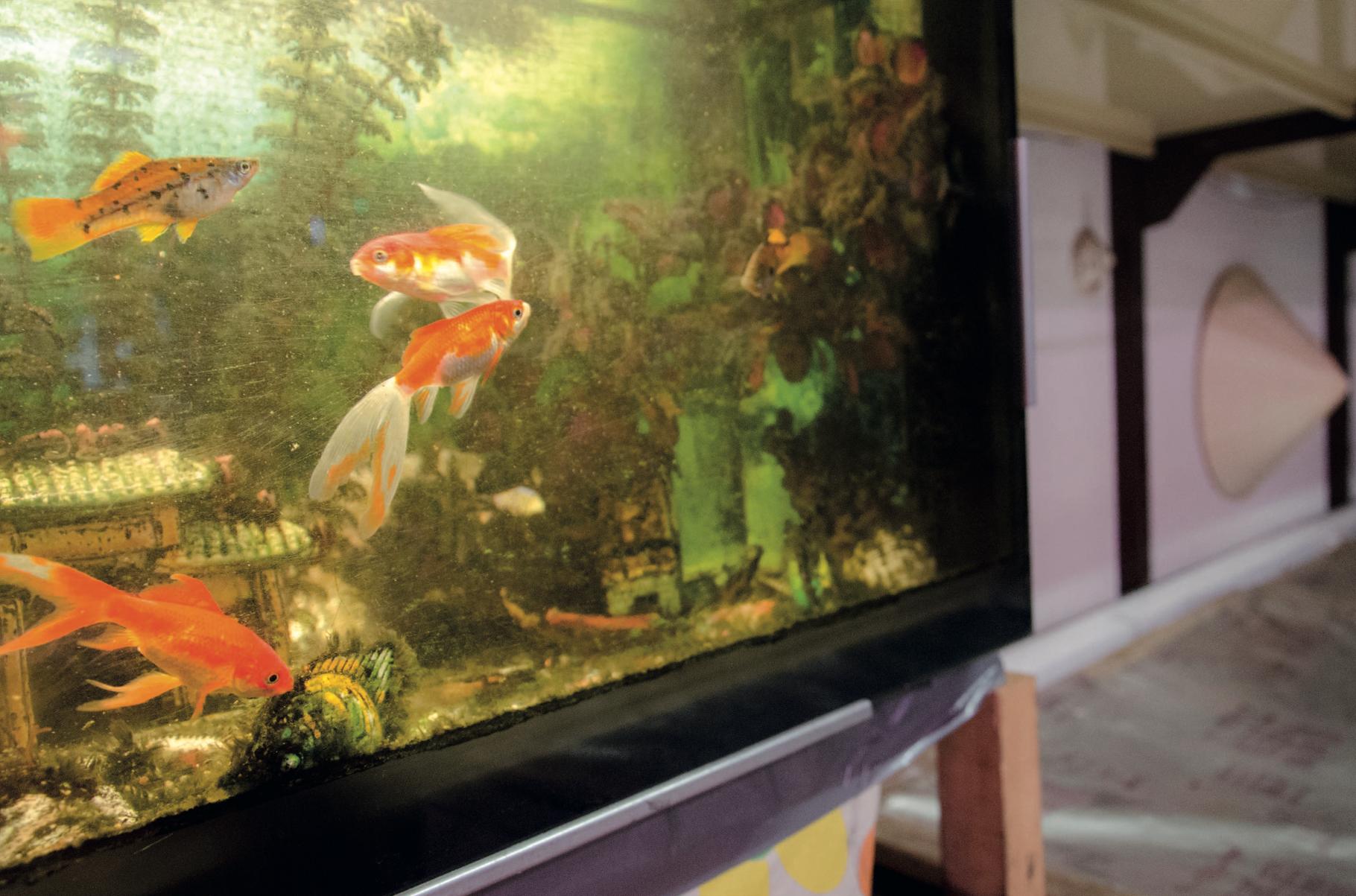 Goldfische bringen Glück