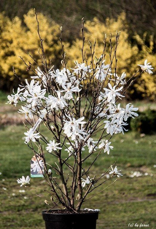 Magnolia stellata Sternmagnolie