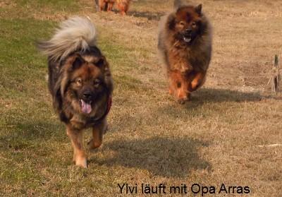 A-Wurf Eurasierwelpen von Arrasino-Austria